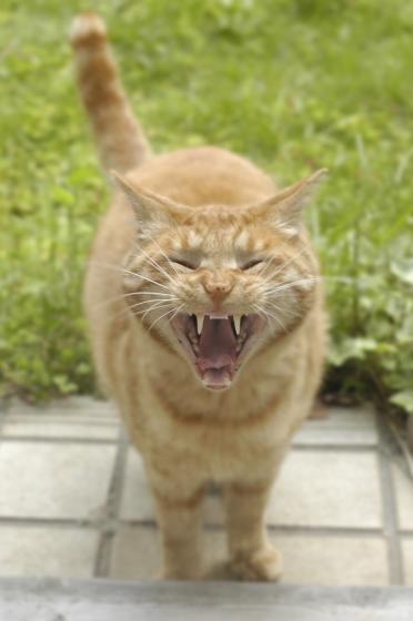シャー!わしは猫ジャー!